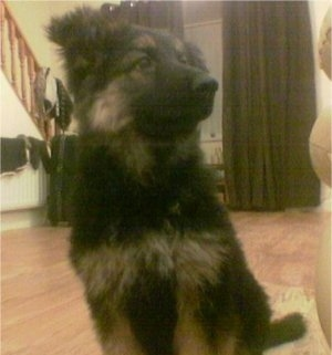Close Up - A fluffy black with tan German Shepherd puppy is sitting on a hardwood floor on a small tan throw rug behind a couch