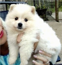 Blondie, aka Blondie Star, the German Spitz Mittel puppy at 8 weeks old