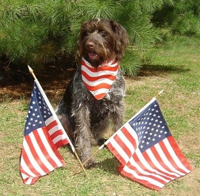 A German Wirehaired Pointer is sitting in front of a tree and wearing an American flag bandana. There are two American flags in front of it.