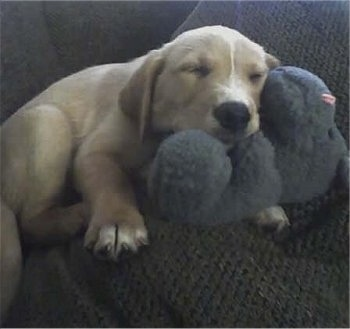A Golden Labrador puppy is sleeping on a toy on a brown couch