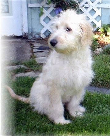 A cream colored Goldendoodle is sitting in grass in front of a baby-blue house