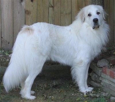 Loki, the 21 Month old Great Pyrenees rescue dog from working lines