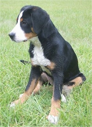 A tricolor black, tan and white Greater Swiss Mountain Dog puppy is sitting outside in grass and looking to the left