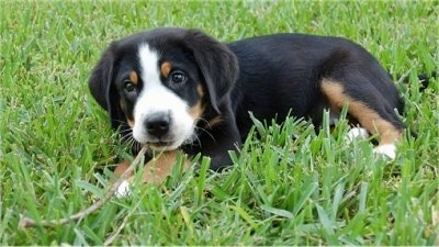 A tricolor black, tan and white Greater Swiss Mountain Dog puppy is laying outside in grass chewing on a stick.