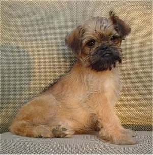 A tan with black Belgian Griffon is sitting at the back of a tan couch