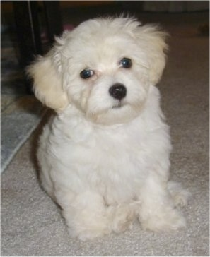 A white and cream Havachon puppy is sitting on a tan carpet under a table