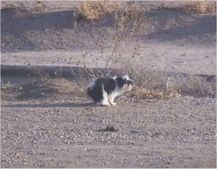 A black and white small Jatzu dog is pooing outside on a sandy dry ground.