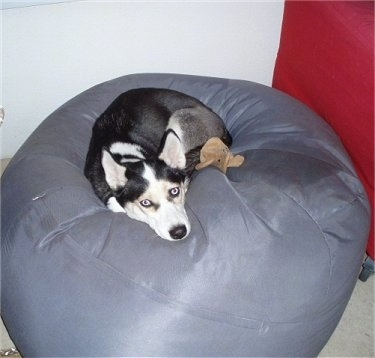 A black, grey and white Siberian Husky dog laying down on a grey bean bag chair.