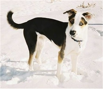 Side view - A tricolor black with white and tan Husky mix is standing in snow and it is looking to the left. It has one blue eye and one brown eye.