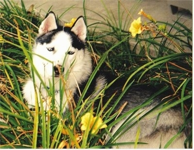 Side view - A black, grey and white Husky dog is laying across a grassy surface with yellow daffodil flowers around it. The tall grass is overtop of the Husky. It is looking up and there is a concrete porch behind it.