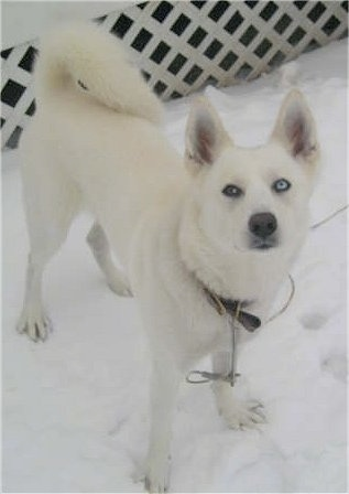 A pure white Siberian Husky with two different colored eyes is standing in snow and it is looking up.