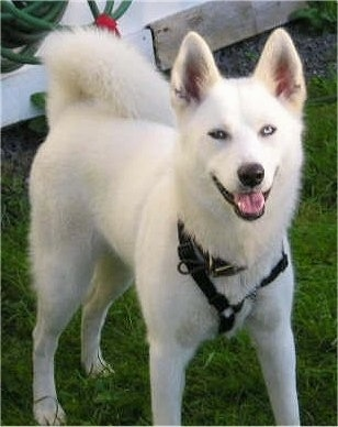 Gerberian Shepsky German shepherd and husky mix
