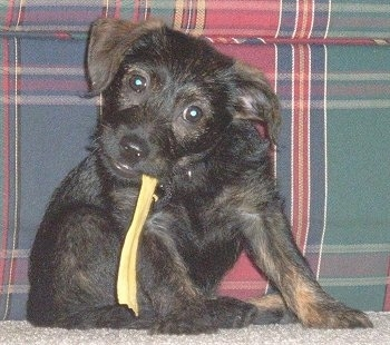 A black with tan Jacairn puppy is sitting in front of a plaid green, blue and maroon couch with a piece of rawhide in its mouth