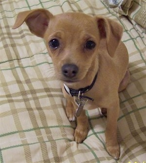 Jack Chi Dog Breed Pictures, 1