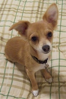 Jack (aka: Crackerjack), the Jack-Chi puppy at 5 months