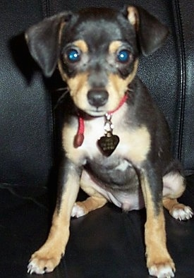 A black with tan and white Jack Chi puppy is sitting on a black leather couch