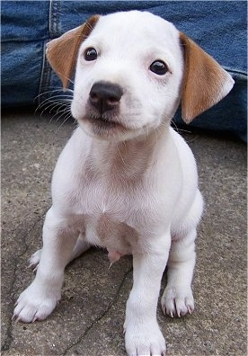 A small white with tan Jack-Rat Terrier puppy is sitting on a sidewalk, in between a person in blue jeans spread out legs.