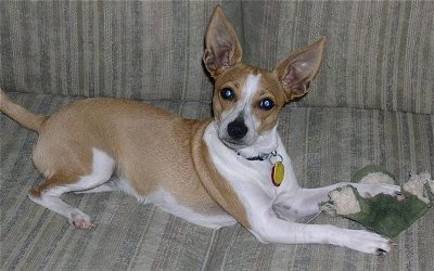 A perk-eared white with tan Jack-Rat Terrier is laying on a tan couch with a chewed on green and tan plush frog toy under its front paw.