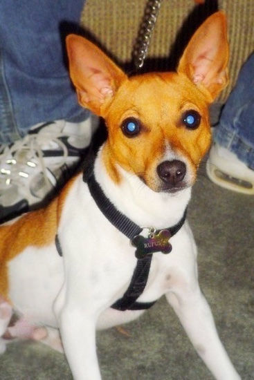 A white with tan Jack-Rat Terrier is sitting in front of a couch with a person wearing blue jeans behind it