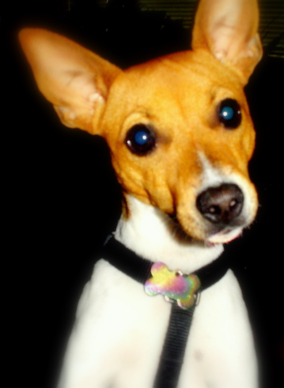 Close Up head shot - A white with tan Jack-Rat Terrier is wearing a black harness has its head tilted to the left