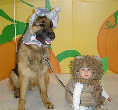 Close up - A black with brown German Shepherd dog is sitting against a yellow wall that has pumpkins painted on it. The dog is wearing an elephant on its head and it is sitting next to a toddler sized baby that is wearing a tan lion costume.