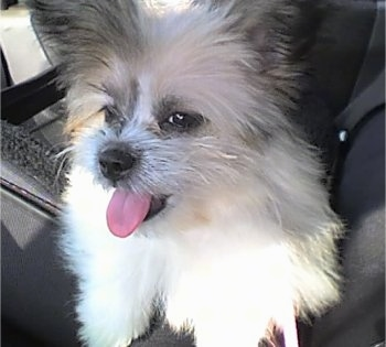 Cocoa, the Kimola (American Eskimo / Lhasa Apso hybrid) at 6 months old