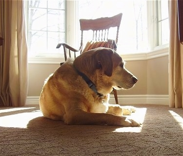 A yellow Labrador Retriever is laying on a tan carpet in the sun that is shining into the window in front of a wooden chair and looking to the right
