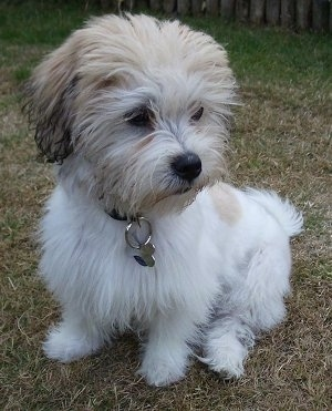 La-Chon Dog Breed Information and Pictures
