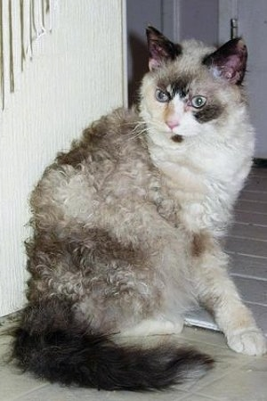 laperm shorthaired and longhaired cat breed pictures