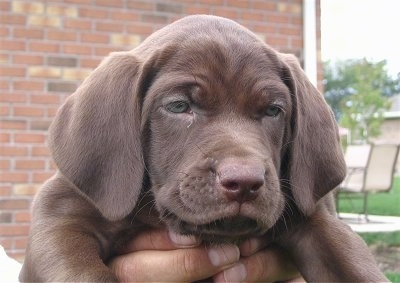 Close Up head shot - A wrinkled chocolate Labmaraner is being held up by the hands of a person