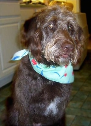 Close Up upper body shot - A wavy, long coated, chocolate with white Labradoodle is wearing a mint-green bandana with a red bouncing ball and blue lines on it  and sitting on a brown tiled floor in a kitchen
