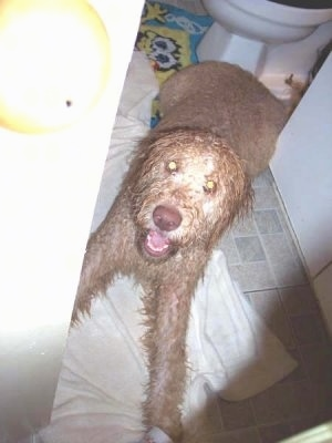 A wet tan Labradoodle is laying on a tan tiled floor in  a bathroom and there is a white toilet behind it. It is looking up and its mouth is open