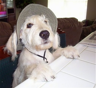 A wiry-looking white Labradoodle is jumped up at with its front paws on a white tiled counter toplooking up. It is wearing a tan hat