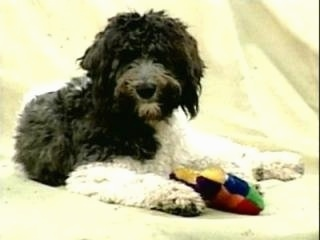 A black with white Labradoodle is laying on a yellow backdrop with a plush toy in between its front paws