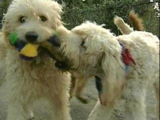 A tan Labradoodle is standing in dirt with a plush toy in its mouth and another tan Labradoodle is biting at the toy