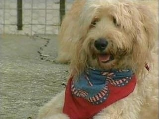 A fluffy, tan Labradoodle is laying in dirt wearing a red and blue bandanna. Its mouth is open and tongue is out