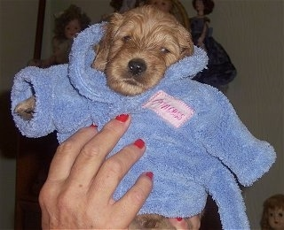Close Up - A tiny tan Labradoodle puppy is wearing a blue robe and it is being held up by a person with red nails