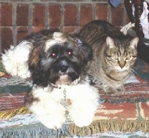 A white with black and brown Lacasapoo is laying on top of a rug next to a cat. There is a brick wall behind them.