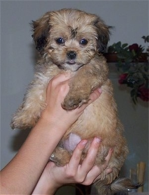 A small, tan with black Lhasa-Poo puppy is being held in the air by a persons hands.