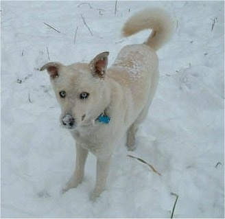 Front side view - A blue-eyed, tan Siberian Retriever is standing in snow and it is looking up. There is snow all over its back and muzzle. The dog's tail is curled up over its back.