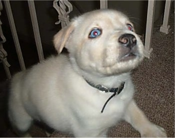 Rellyk, the Husky / Labrador Retriever mix as a young puppy