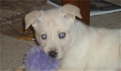 The left side of a blue-eyed, tan Siberian Retriever puppy that is looking forward. There is a purple fluffy toy under its head. Its ears are folded over to the sides.