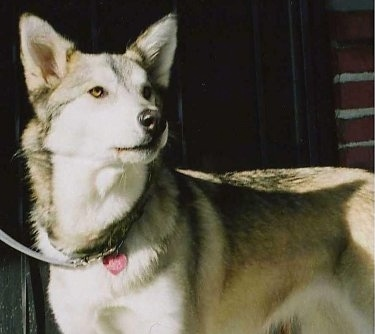 Husky Wolf Mix. my Husky / Timber Wolf mix