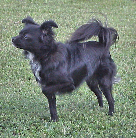 Side view - A black with white Chihuahua/Japanese Spitz mix is standing in grass and it is pointing to the left. It has longer hair on its tail.