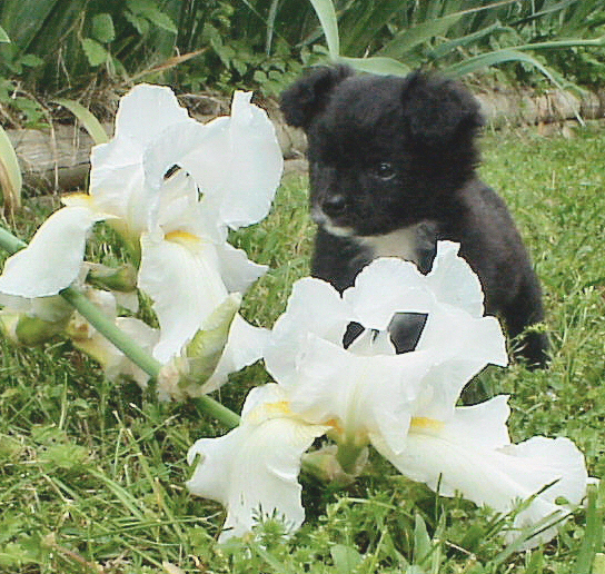 Front view of a small, furry, black with white Chihuahua/Japanese Spitz mix puppy sitting in grass in front of white orchid flowers. The dog looks like a stuffed toy and the bunch of flowers are larger than the dog.