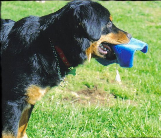 Side view upper body shot - A black with tan Chow Chow/Rottie mix is standing in grass and it has a blue object in its mouth.