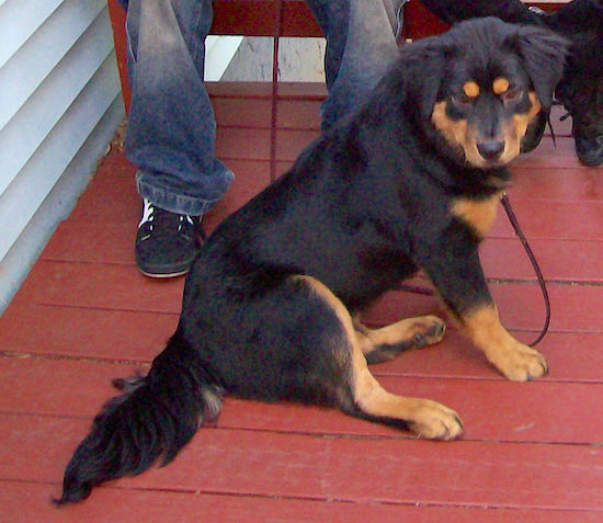 A black with tan Chow Chow/Rottie mix is sitting on a red deck with two people behind it sitting on a bench. The dog has short hair with longer hair on its tail and ears.