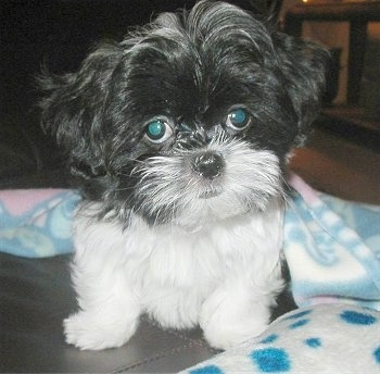Close up view from the front - A small fluffy black and white Mal-Shi puppy is sitting on a black leather couch and there is a baby blue, white and pink blanket behind it. The dog looks like a stuffed toy.