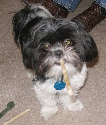 A longhaired black and white Mal-Shi is standing on a tan carpet with a rawhide stick in its mouth. There is a second rawhide chew and a Greenie chew on the floor next to it. Behind it is the feet of a person in brown cowboy boots and blue jeans.