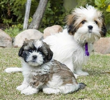 Malshi puppies - Rocky weighing 2 pounds (seven weeks) and Muffy weighing four pounds (four months)